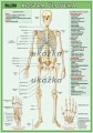 Popis produktu - Kostra človeka