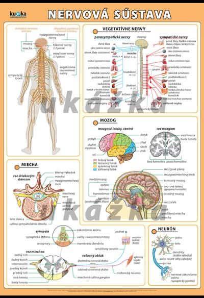 Nervová sústava