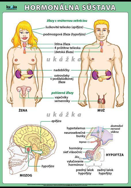Hormonálna sústava
